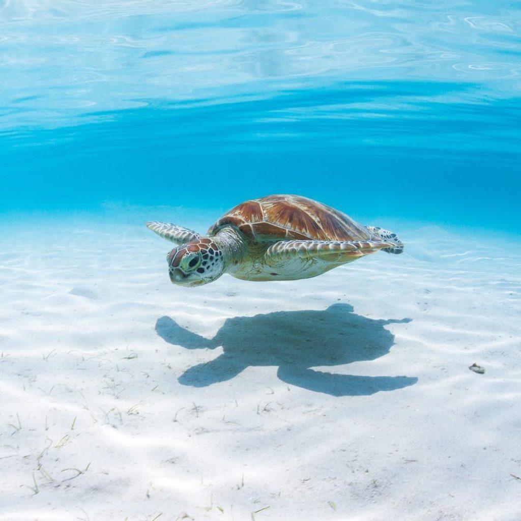 水中を泳ぐ海ガメ